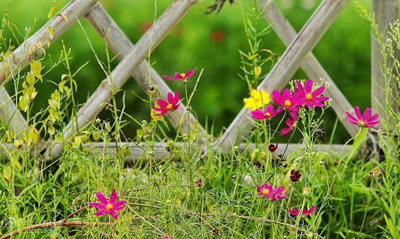 Taehwa, Cosmos, Flowers, Spring, Brin, Fence