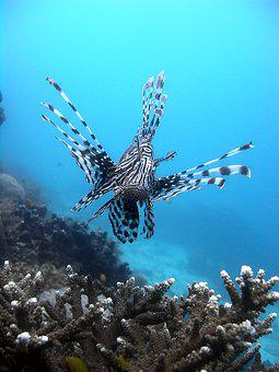 Lionfish, Underwater, Fish, Exotic, Toxic, Coral