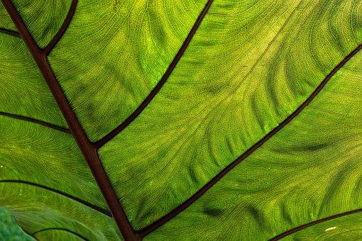 Coco Yam, Leaf, Tropical, Flora