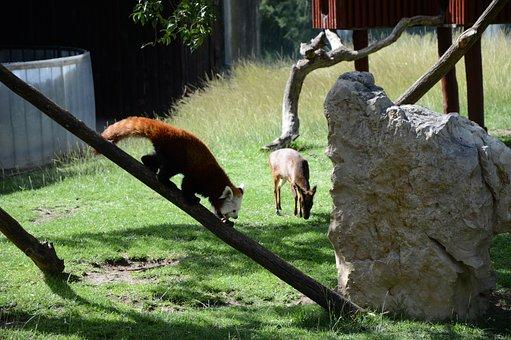 Fox, Pomeranian, Zoo, Nature, Madrid, Animals, Animal