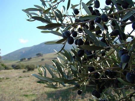 Olive, Landscape, Greece, Tree, Field, Hill