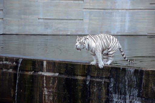 Tiger, White Tiger, Jump, Zoo, Wild, Carnivorous