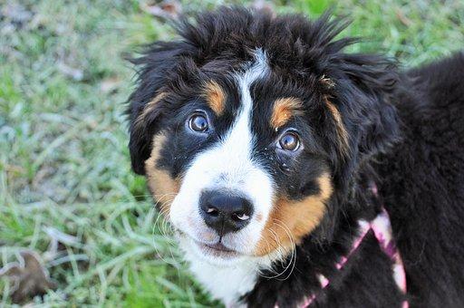 Dog, Big Dog, Puppy, Bernese Mountain Dog, Dog Portrait