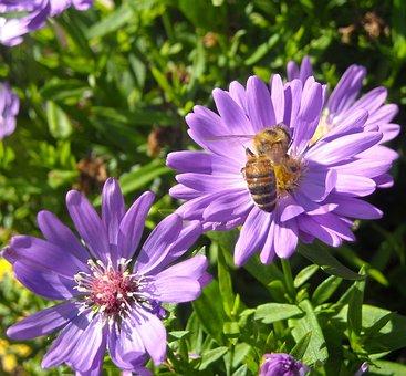 Honey Bee, Bee, Yellow, Animal, Fly, Macro, Flower