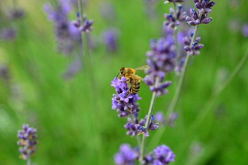 Lavender, Bee, Insect, Violet, True Lavender, Lavandula