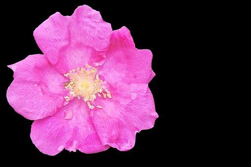 Rose Hip, Blossom, Bloom, Rose, Rose Greenhouse