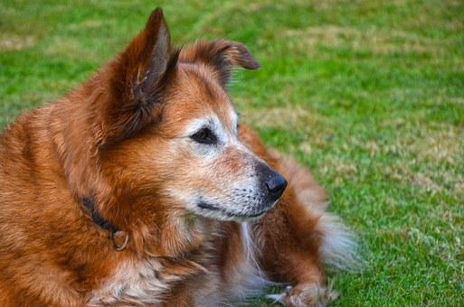 Harzer Fox, Dog, Fur, Pet, Hybrid, Hundeportrait