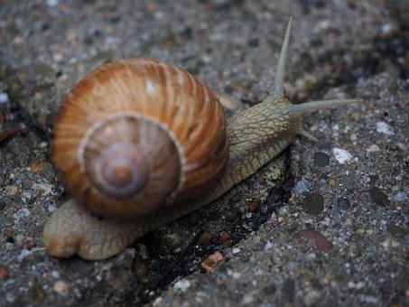 Snail, Shell, Probe, Crawl, Mollusk, Reptile