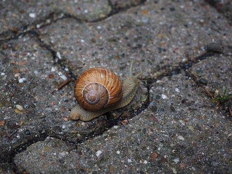 Snail, Shell, Mollusk, Reptile, Helix Pomatia
