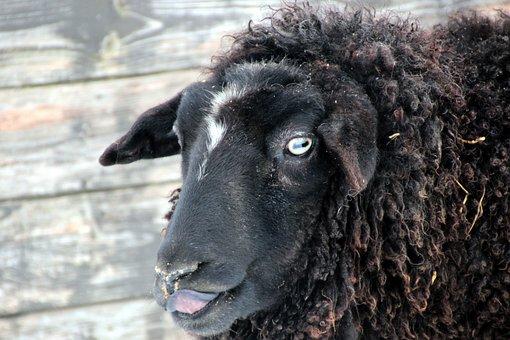 Sheep, Black, Wool, Animal, Animals, Nature, Sheep Face