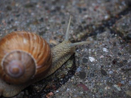 Snail, Probe, Crawl, Shell, Mollusk, Reptile