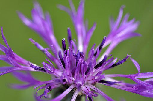 Cornflower, Blossom, Bloom, Filigree, Close