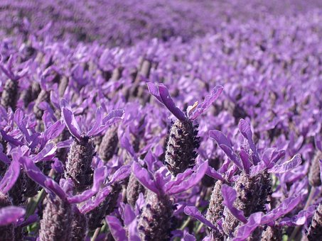 Lavender, Purple, Crop, Field Of Flowers