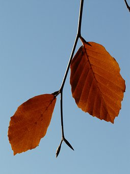 Leaf, Pair, Two, Both, Together, Beech, Fagus Sylvatica