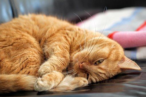 Cat, Red Cat, Kitten, Pet, Red, Playful, Lascivious