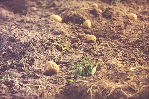 Potato, Harvest, Field, Nature, Potatoes, Frisch, Bio