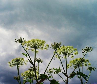 Dark Cloud, Before Rain, Flowers, Wild Flowers, Blue