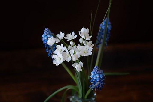 Blue Grape Hyacinth, Flowers, Blue, White Flowers