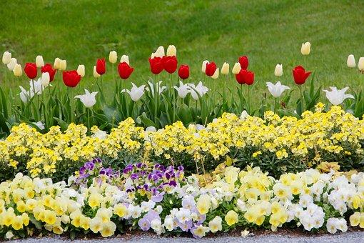 Tulips, Tulipa, Tulpenzwiebel, Breeding Tulip, Red