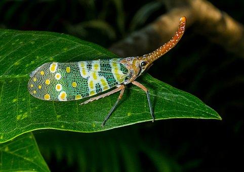 Canthigaster Cicada, Fulgoromorpha, Insect, Proboscis