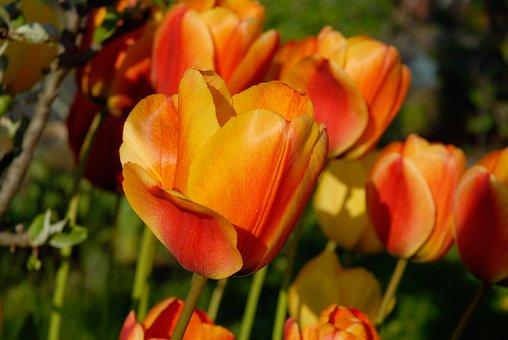 Tulips, Orange, Blossom, Bloom, Orange Flower