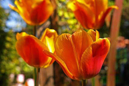 Tulips, Yellow Tumor, Orange Tulip, Spring, Blossom