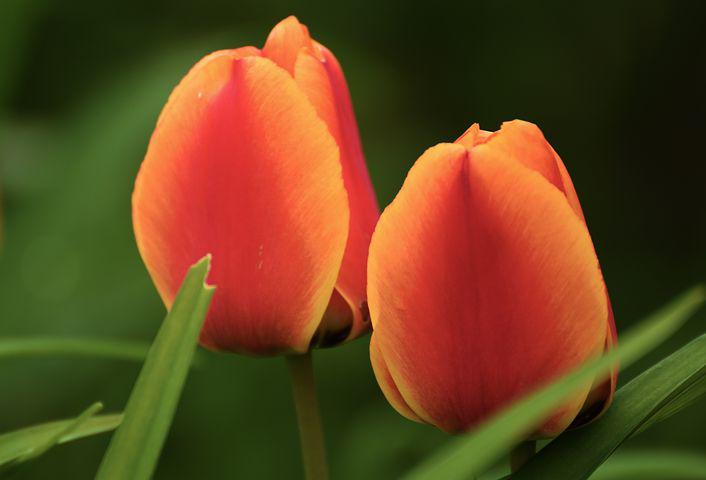 Tulip, Flower, Plant, Spring, Nature, Flowers, Colorful