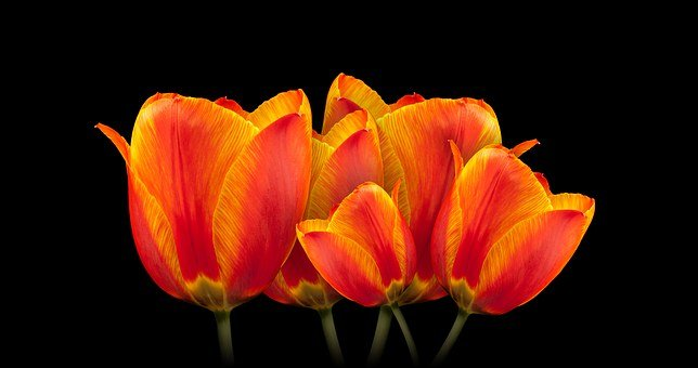 Tulips, Bouquet, Flower, Spring, Spring Flower, Plant