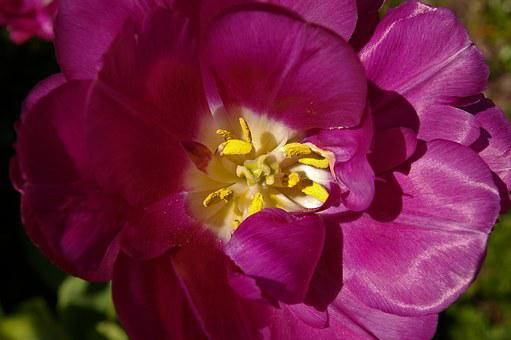 Tulips, Purple Tulips, Purple, Flower, Spring, Nature