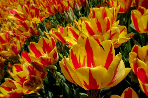 Flowers, Flower, Tulips, Yellow, Orange, Spring