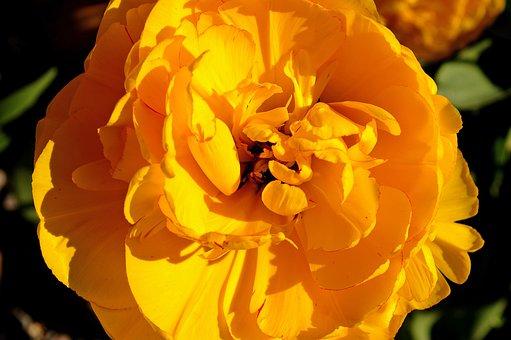 Tulip, Yellow Tumor, Yellow, Flower, Spring, Nature