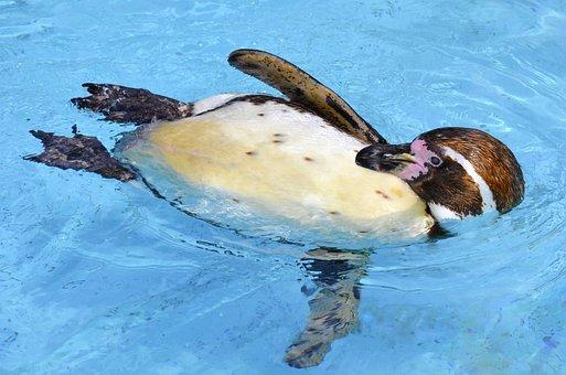 Penguin, Humboldt Penguin, Glasses Penguin, Water