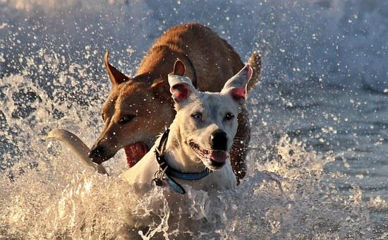 Dogs, Romp, Play, Fun, Sea, Water, Jump, Beach, Leisure