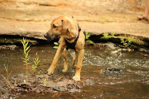 Dog, Puppy, Water, Rhodesian Ridgeback, Pit Mix