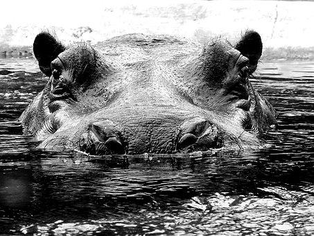 Hippo, Hippopotamus, Hard, Mammal, Large, Massive, Zoo