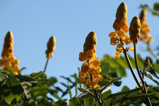 Yellow Flowers, Candle Flower, Summer, Summer Flowers