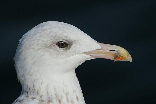 Herring Gull, Gulls, Larus Argentatus, Laridae