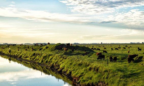 Field, Cows, Brook, Animals, Nature, Pastures