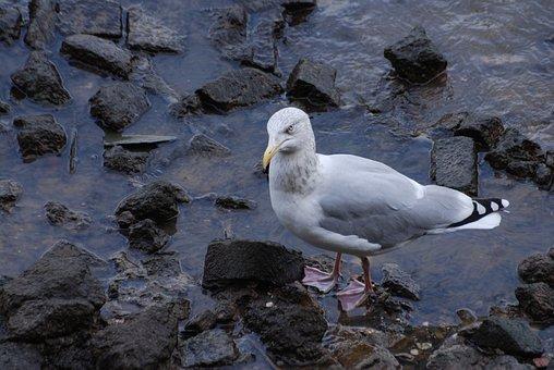 Herring Gull, Larus Argentatus, Shoreline, Seagull