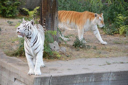 Tiger, White Tiger, Zoo, Carnivorous, Animal, Wild