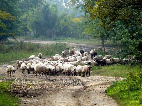 Sheep, The Flock, Pet, Nature, Capra