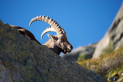 Ibex, Capra Ibex, Male