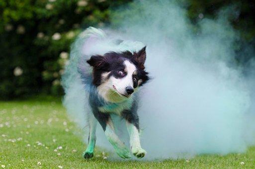 Border Collie, Holi Colour, Dog, British Sheepdog