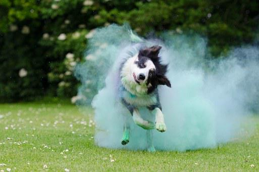 Corn Powder, Holi Colour, Dog, Running Dog, Border