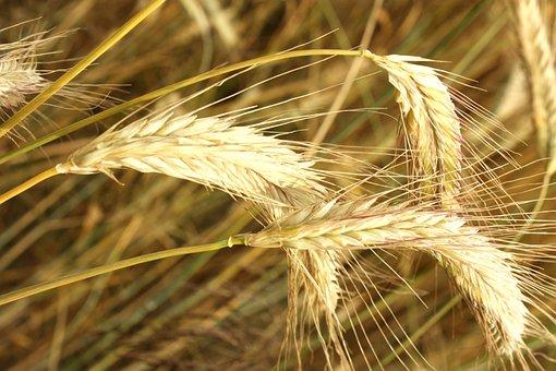 Corn, Kłos, Grains, The Cultivation Of, Village