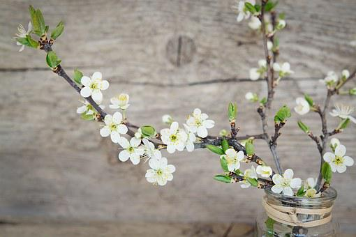 Cherry Blossoms, White, Flowers, White Flowers