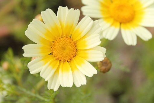 Coleostephus Myconis, Flowers, Salento, Italy, White