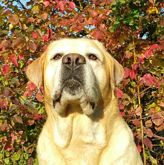 Labrador, Autumn, Labrador Seriously, Dog, Leaves, Pet