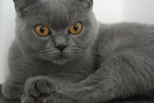 British Shorthair, Cherished, Gray, Home, Animal, Face
