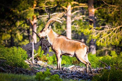 Ibex, Nature, Animals, Goat, Wild Animal